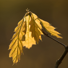 Blad van de Amerikaanse eik (Quercus rubra)