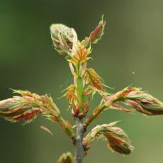 Ontluikend beukenblad (Fagus sylvatica)
