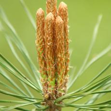 Bloeiwijze Grove den (Pinus sylvestris)