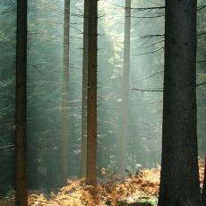 Vallend licht in naaldbos