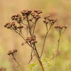 Boerenwormkruid (Tanacetum vulgare L.)