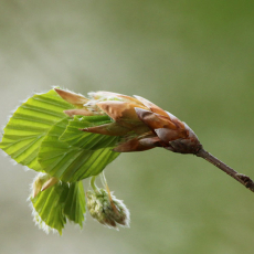 Jong beukenblad (Fagus sylvatica)