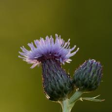 Waarschijnlijk knoopkruid (Centaurea jacea)
