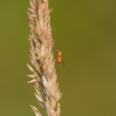 Waarschijnlijk fruitvlieg (Drosophila melanogaster) op aar