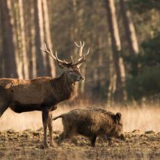Edelhert en wild zwijn (Cervus elaphus en Sus scrofa)