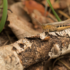 Een vrouwtje uit de Chorthippus biguttulus groep