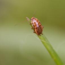 Kakkerlak (orde Blattodea)