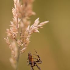 Kruisspin (Araneus diadematus)