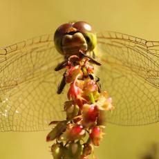 Heidelibel (geslacht Sympetrum)