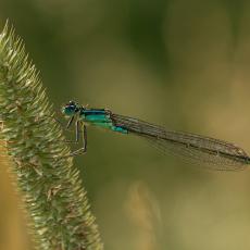 Lantaarntje (Ischnura elegans)