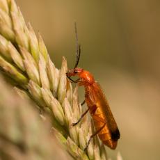 Weekschildkever/soldaatje (familie Cantharidae)
