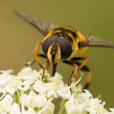 Zweefvlieg (familie Syrphidae), is mogelijk de Gewone pendelvlieg (Helophilus pendulus)