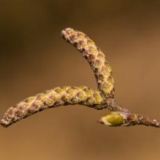 Katjes van de Ruwe berk (Betula pendula)