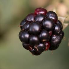 Braam (geslacht Rubus)
