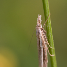 Nachtvlinder - Variabele grasmot (Agriphila tristella)