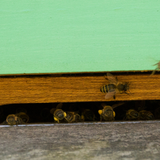 Bijen bezorgen het stuifmeel in de bijenkast