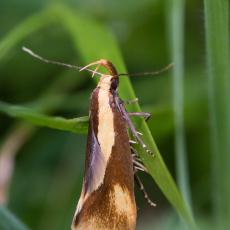 Nachtvlinder - Bruine molmboorder (Harpella forficella)