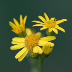 Jacobskruiskruid (Jacobaea vulgaris subsp. vulgaris)