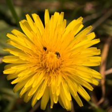 Paardenbloem (Taraxacum officinale)