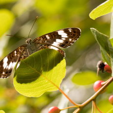 Kleine-ijsvogelvlinder (Limenitis camilla)