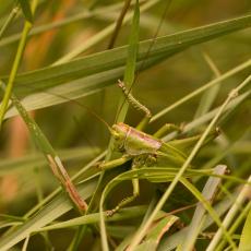 Nimf van de grote groene  sabelsprinkhaan (Tettigonia viridissima)