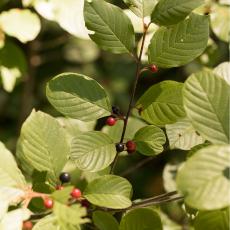 Vuilboom-(geslacht-Rhamnus)
