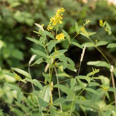 Wederik-(geslacht-Lysimachia)