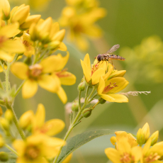 Snorzweefvlieg (Episyrphus balteatus), wordt ook wel Pyjamazweefvlieg genoemd.