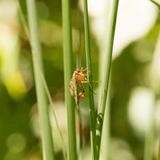 Schorpioenvlieg (familie Panorpidae)