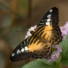 Vlinder (orde Lepidoptera)