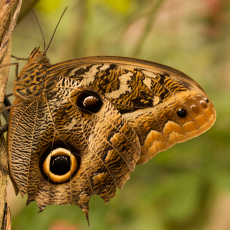 Uilvlinder (Caligo eurilochus)