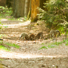 Biggen van wild zwijn  (Sus scrofa)
