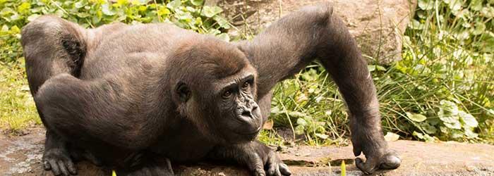 Natuurparken gorilla