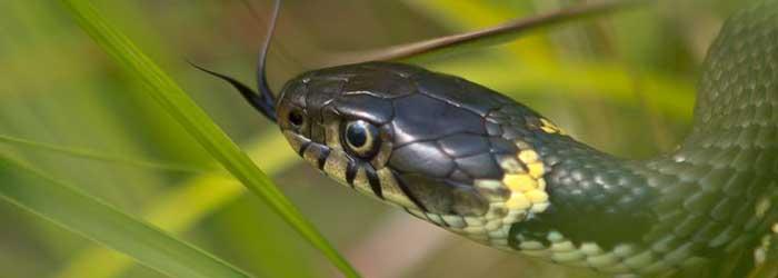 Reptielen en amfibieen van de Veluwezoom, ringslang