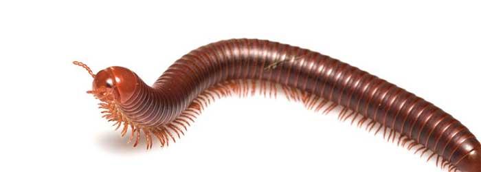 Miljoenpoot-(Diplopoda)