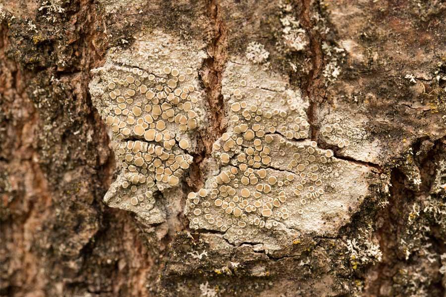 Witte schotelkorst (Lecanora chlarotera)