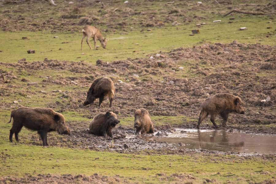 Wilde zwijnen die een modderbad nemen
