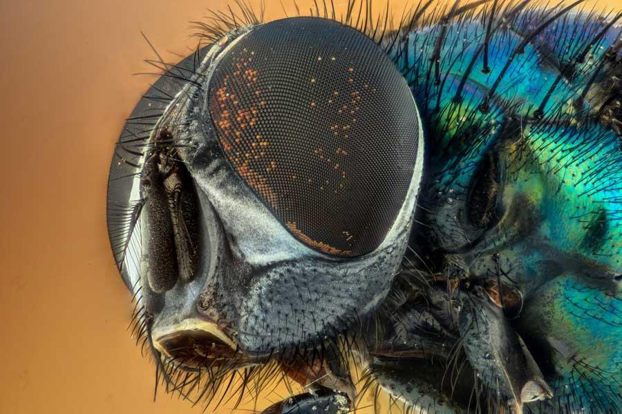 Facetoog bij een insect