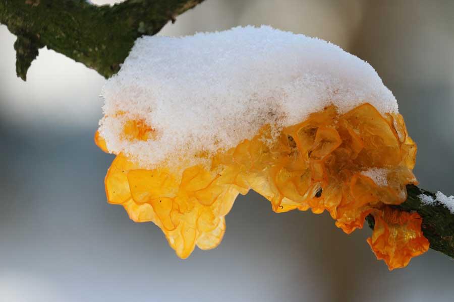 gele-trilzwam-(Tremella-mesenterica)
