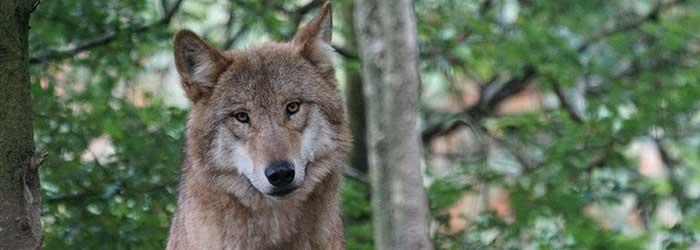 Komt de wolf ook naar de Veluwezoom?