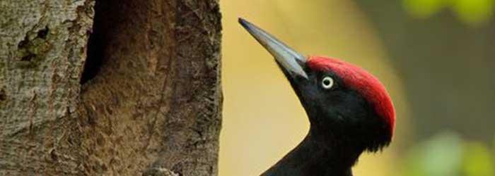 zwarte-specht-(Dryocopus-martius)