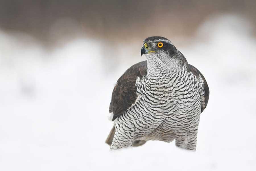 Havik-in-de-sneeuw-(Accipiter-gentilis)