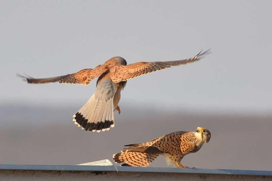Torenvalk-duo-(Falco-tinnunculus)