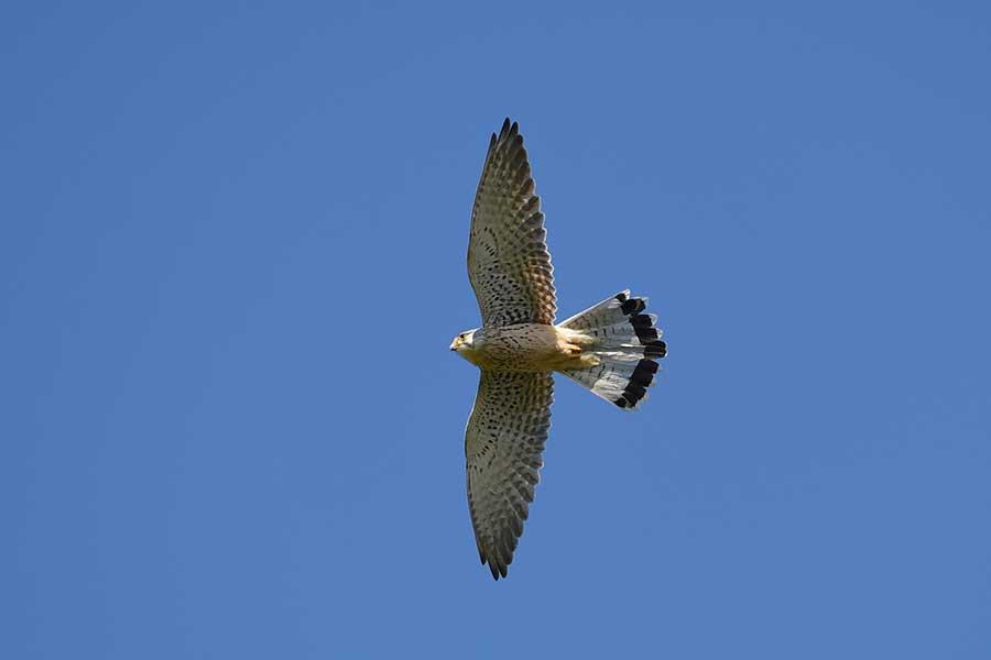 Torenvalk-in-de-vlucht-(Falco-tinnunculus)