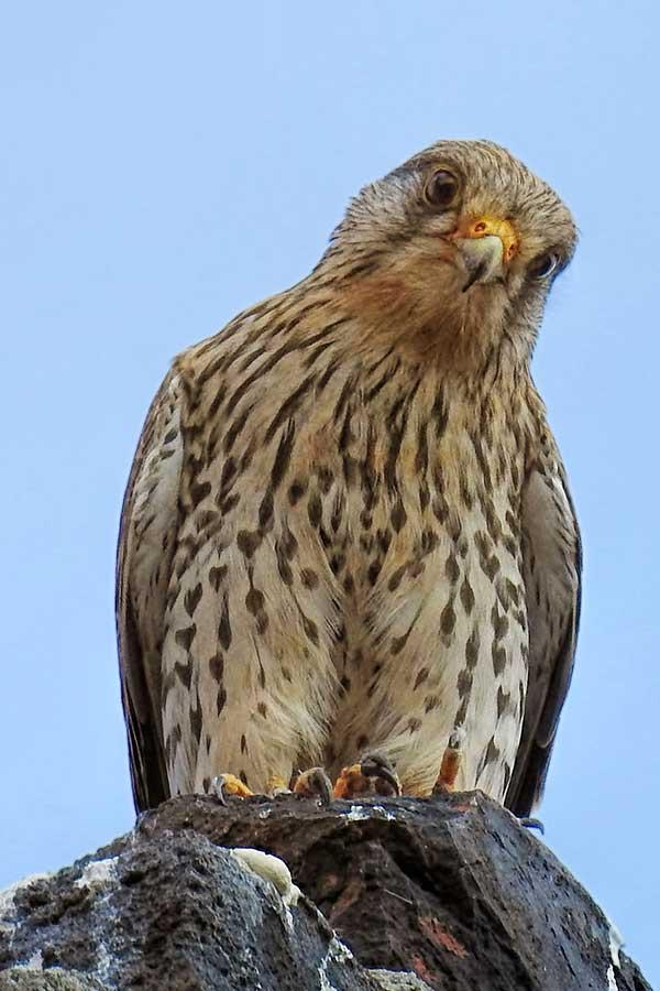 Torenvalk-op-rots-(Falco-tinnunculus)