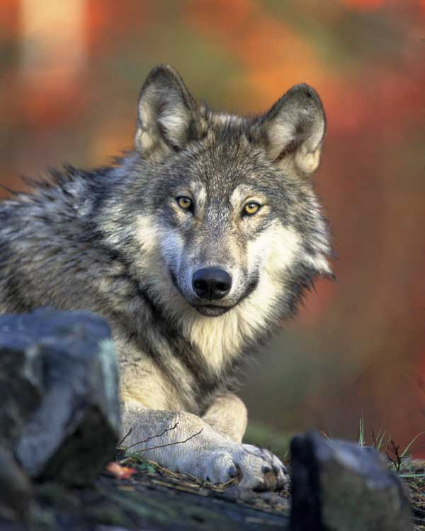 Wolf-(Canis-lupus)