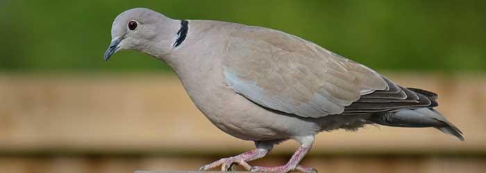 duiven van de Veluwezoom