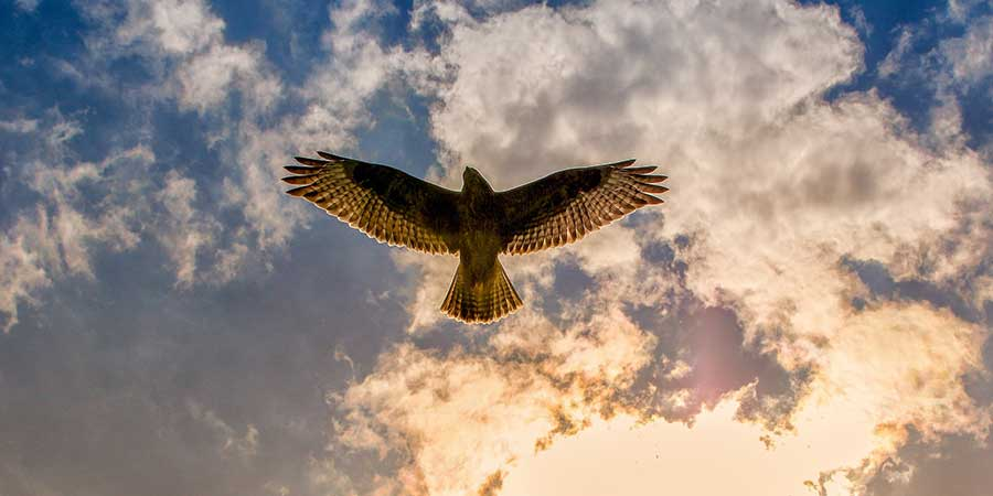 buizerd-vliegend-(Buteo-buteo)