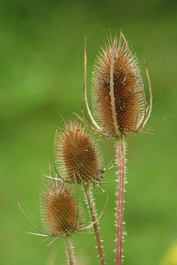 Grote kaardebol (Dipsacus fullonum)