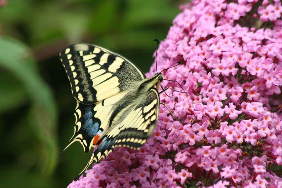 Koninginnepage-(Papilio-machaon)